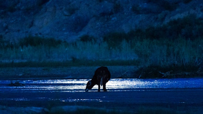 Moonlight reflects on the Virgin River as one of Cliven Bundy's cows drinks water in Bunkerville, Nev., in April 2014. The BLM seized hundreds of head of cattle from the rancher over his refusal to pay an estimated $1 million in grazing fees over 20 years. They have since backed down and returned his cattle.