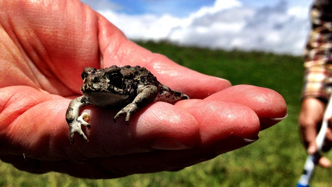 Forget the buffalo and bears. Check out Yellowstone National Park's amazing amphibians.