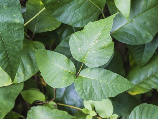 Poison ivy: Leaflets three, let it be.
