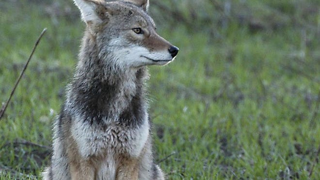 Currently in Ohio, a hunting license is required to take coyotes, although other requirements, including bag limits, are next to nonexistent. Coyote hunting is legal pretty much year-round.