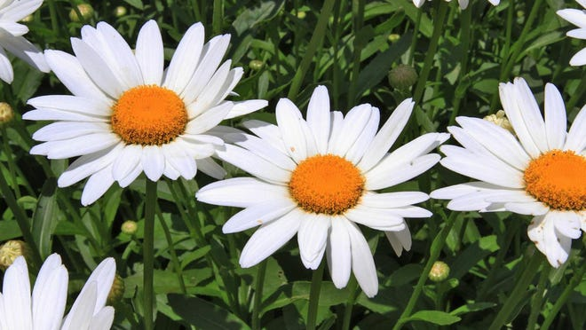 Botanically, all daisies are in the