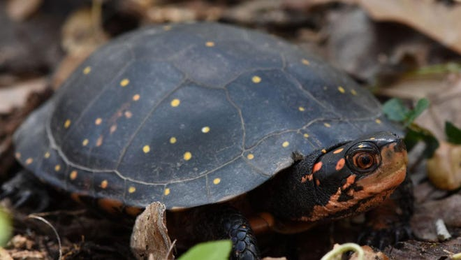 Spotted turtles are listed by the state of Ohio has a threatened species. Stark Parks will breed a few of the turtles that have been rescued from the illegal pet trade to help boost the local wild population.