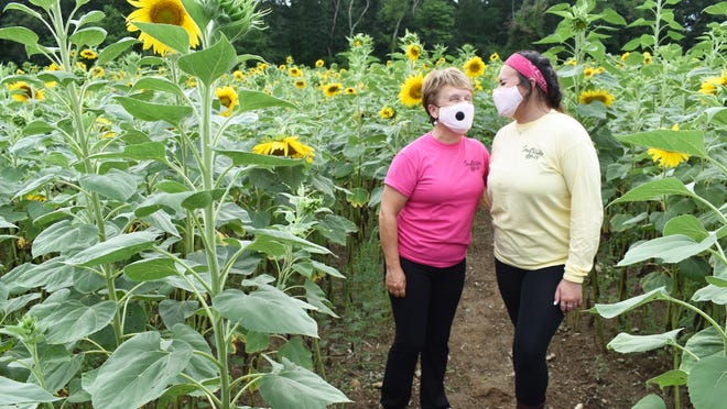 Simcock Farm owner Beverly Simcock, left, and employee Kaitlyn Kopecky stand among the sunflowers in this year's walkway at the Swansea farm.