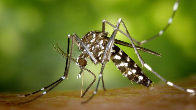 Aedes albopictus mosquito feeding.