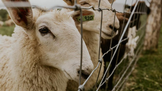 New lambs stand in a pen at Hickory Grove Farm