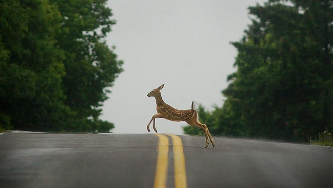 In this file photo, a young deer bounds accross the road near Mendon Ponds Park in Mendon.