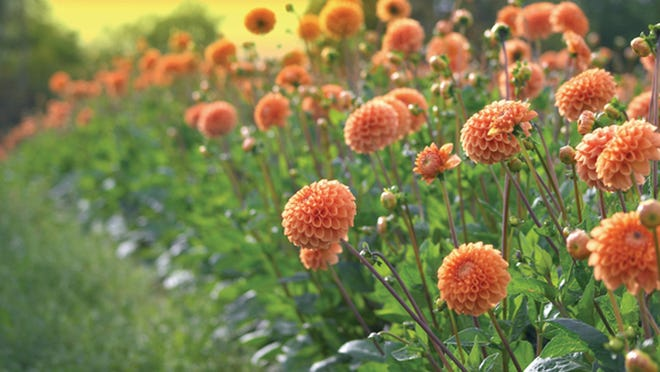 Dahlias will keep blooming well into October.