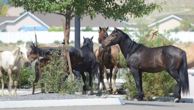 Wild horses stand around in front of a commercial building south of Fernley and north of the Tiger Field airport last Thursday afternoon. The homes seen in the background are across the highway to the northeast.