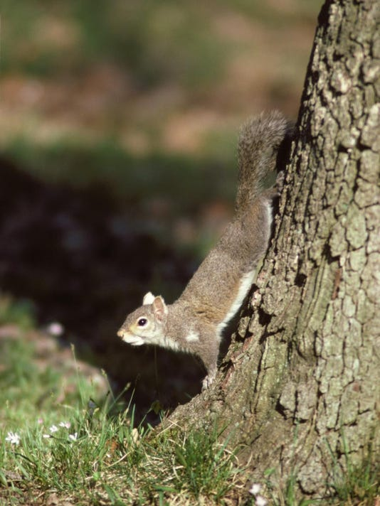 Gray Squirrel_22