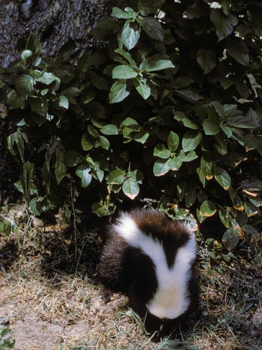 Skunk_2.jpg