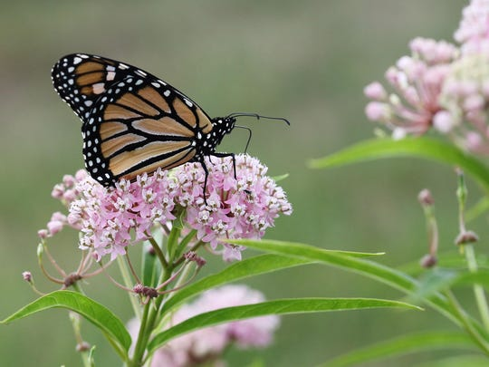 A monarch lands on a swamp milkweed plant on South Creek on Friday, September 4, 2015.