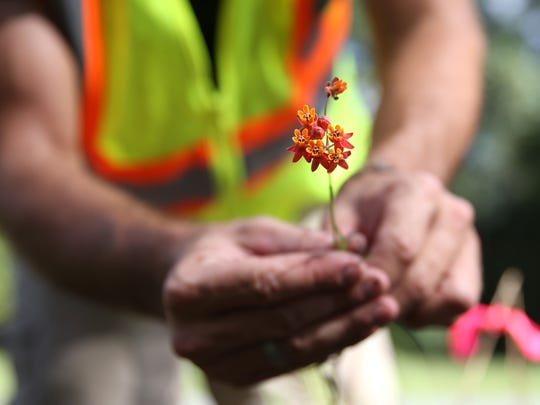 Scott Davis shows off a fewflower milkweed collected during Sunday's native plant rescue along Highway 98. The soon-to-be-developed roadside ditch where this plant was found is home to the largest known population of the species that was once widely distributed across the southeast.