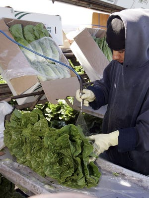 A lettuce worker washes romaine lettuce in Salinas, Calif,. Thursday, Aug. 26, 2007.