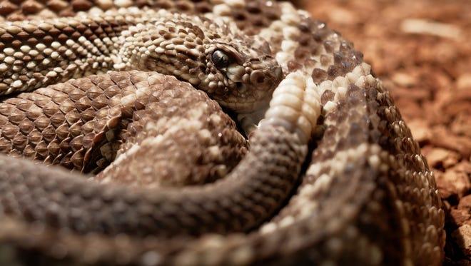 Rattlesnake.