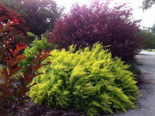 For added drama, site the durable 'Ogon' spirea against a dark foliaged plant.