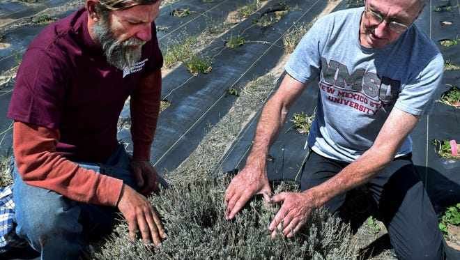 New Mexico State University research specialist Robert Heyduck and Charles Martin, retired NMSU alternative crops researcher, look at a lavender plant that has survived an eight-year variety trial at NMSU's Sustainable Agriculture Science Center at Alcalde.