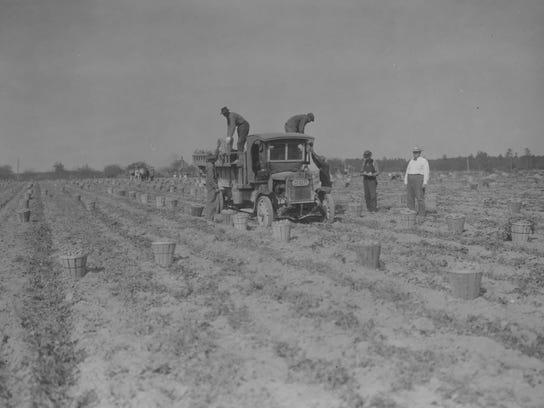 1380-006_#229_Sweet potato field at harvest, Brooks Ross, Seaford_10-15-1924