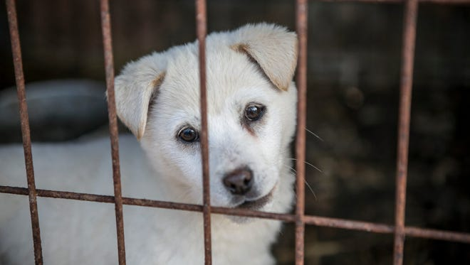 A dog is shown locked in a cage at a dog meat farm in Wonju, South Korea last week. Authorities shut down the farm and 66 of the dogs are being moved to Florida.