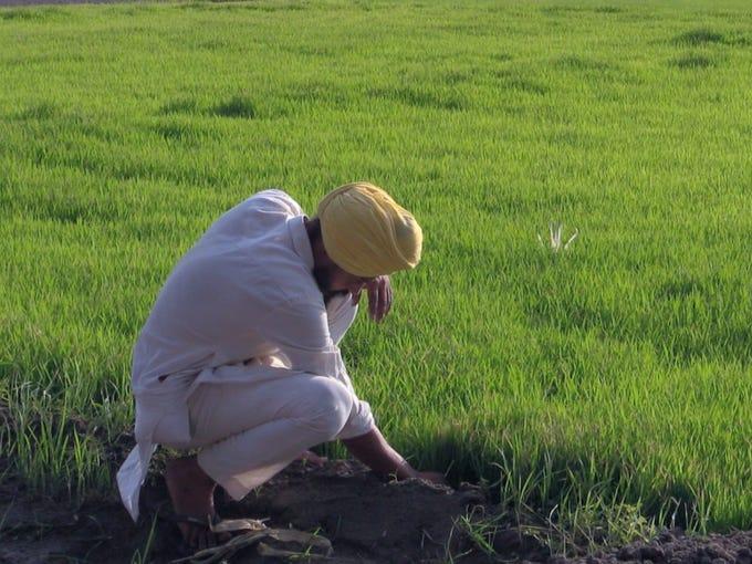Farmer Kulwinder Singh Sanghera checks on his rice
