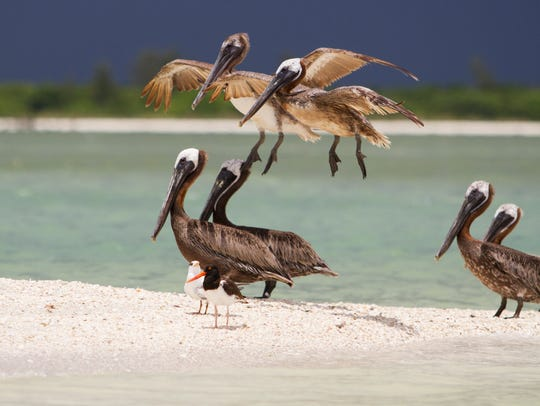 Brown pelicans come in for a landing on the Cape Romano
