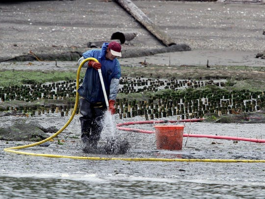 2011 FILEA worker harvest geoduck by inserting a