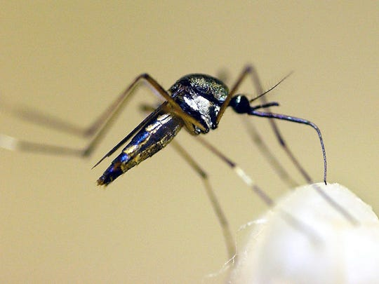 Zika, a virus spreading quickly through mosquitoes