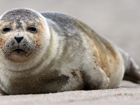A seal rests on the beach in Ocean Grove in this 2016