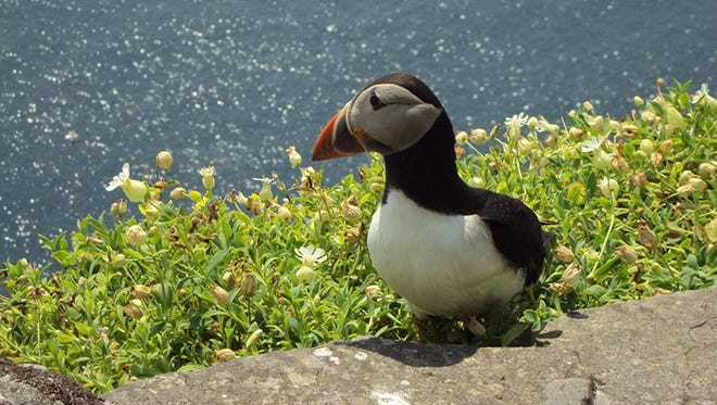 A resident of Skellig Michael, Ireland.
