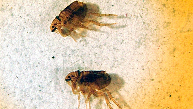 A microscopic view of fleas. The popular push for locally-produced food has spawned flocks of backyard chickens in urban neighborhoods nationwide, but as these chickens grow in popularity, pests hitch rides on them and end up biting the family dogs and cats.