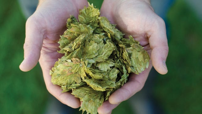 Hops are used to make beer.