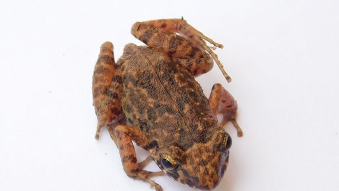 An adult greenhouse frog collected near Savannah by Alec Jarboe.