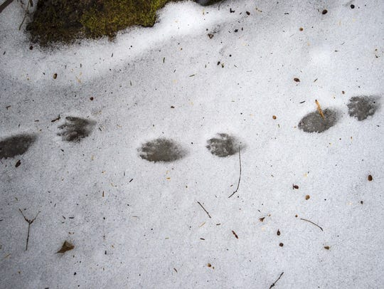 Racoon tracks found on the ice near the Donahue Sea