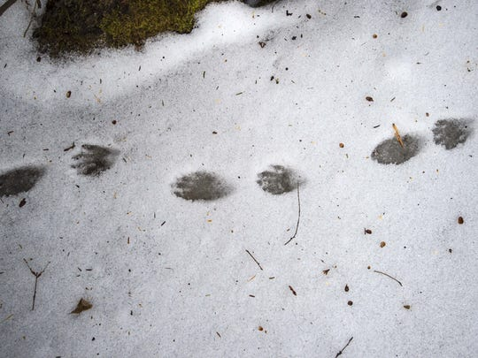 Racoon tracks found on the ice near the Donahue Sea Caves by Alicia Daniel, the city of Burlington's naturalist.