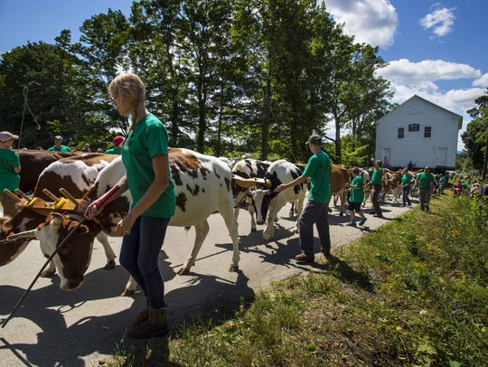 Twenty-three pairs of oxen help guide a schoolhouse