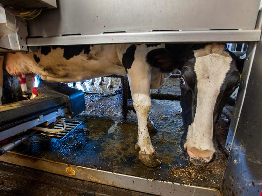 A cow looks out from a robotic milker after being milked