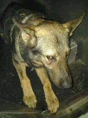 Indian River County sheriff's K-9 Marco was injured