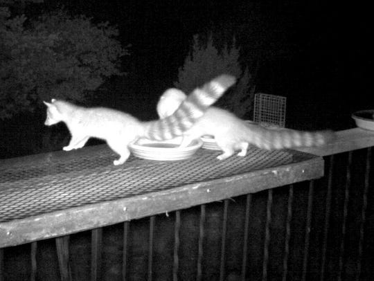 A night capture of two ringtails shows their size and