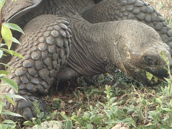 A giant land tortoise feeding on grass at the Rancho Manzanillo farm on Santa Cruz Island, just one of the inhabitants that continue to put the Galápagos, the chain of volcanic islands in the Pacific at the equator some 700 miles off Ecuador, on the must-see lists of many eco-tourists.