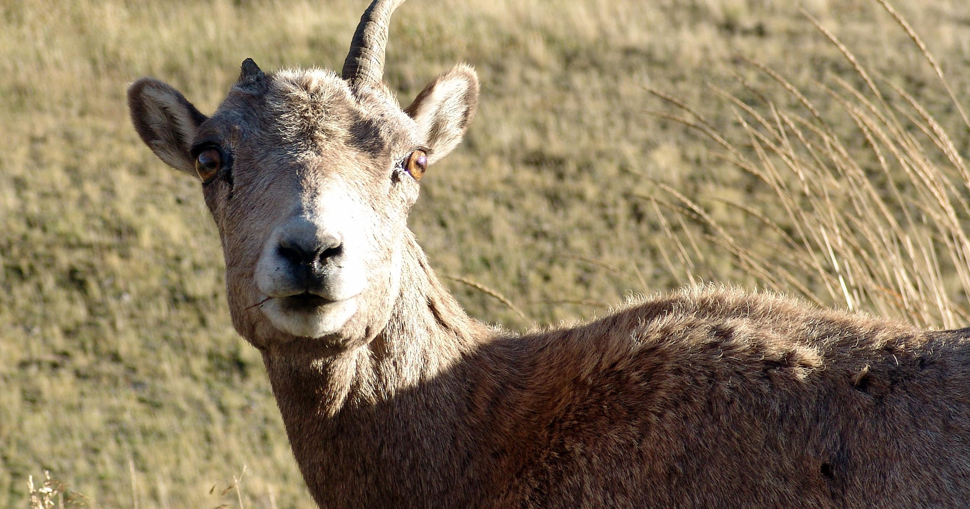 Four wild sheep shot after mixing with domestic sheep