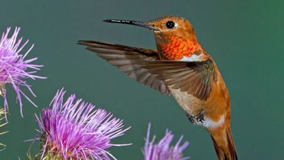 Hummingbirds are the main attraction at the 14th Annual