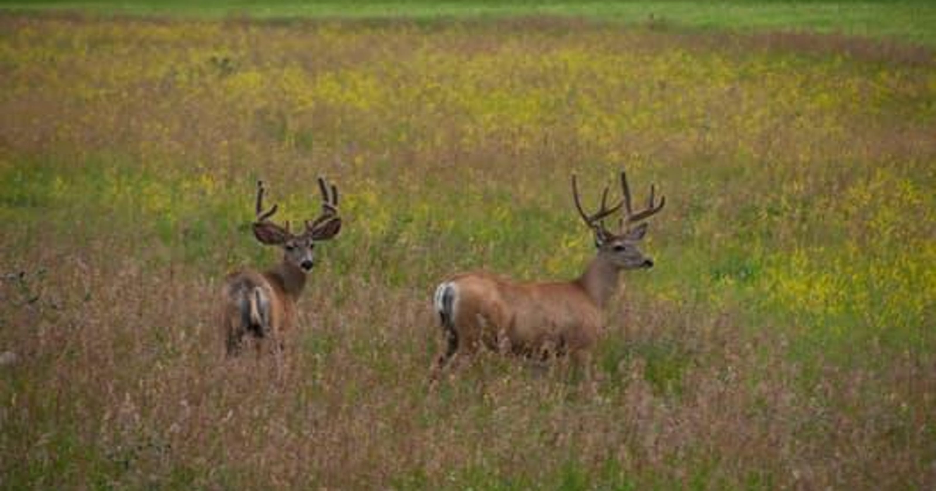 Pa  Game Commission investigating dead deer dumped at Red