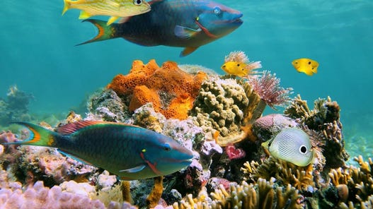 Two stoplight parrotfish swim around a healthy reef.