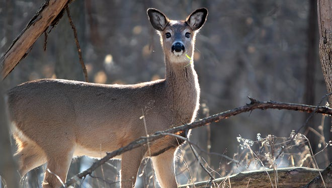 A deer stops to check its surroundings. Indiana wildlife regulators are weighing a proposal that would allow the use of high-powered rifles to hunt deer in Indiana.