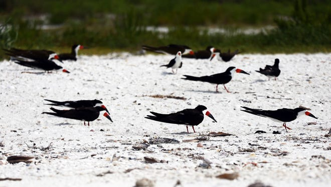 Black Skimmers nest in the sand at Tigertail Beach Park in Marco Island on Monday, June 13, 2016. The birds had to relocate to a different section of the beach after their eggs were washed out by Tropical Storm Colin.