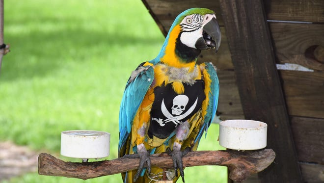 Sapphire the parrot was at the Vero Beach Pirate Fest earlier this year. Wonder what kind of animals will be at the Port Salerno Pirate Fest Saturday?