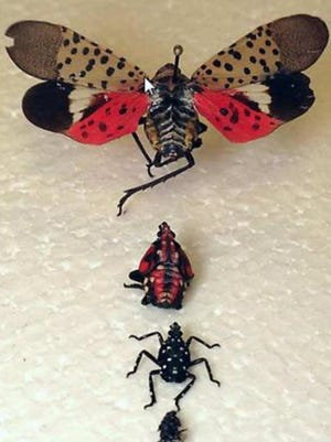 The spotted lanternfly is native to China and has been spotted in Delaware, New Jersey, Virginia and Pennsylvania.