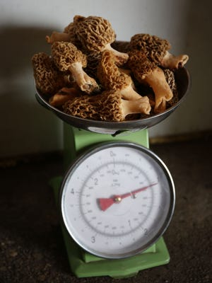 A collection of recently picked morel mushrooms tip a scale at around a pound seen here Friday, May 2, 2014, at the Rinehart Family Farm outside Ogden, Iowa in rural Boone County.