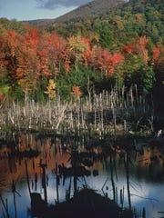 Big Swamp beaver lodge Wolfrun - Sue Morse
