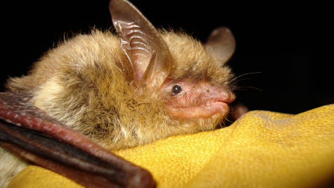 A northern long-eared bat rests in the hand of a volunteer at the Organization for Bat Conservation.