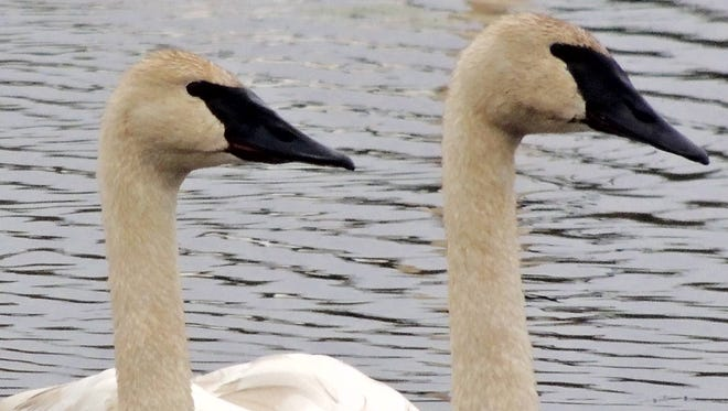 It is now possible to view wild trumpeter swans in many areas of the state, including Horicon National Wildlife Refuge, Necedah National Wildlife Refuge, Sandhill Wildlife Area, as well as locally along the Fox River during the winter months.